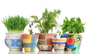 Five colorful potted herb plants