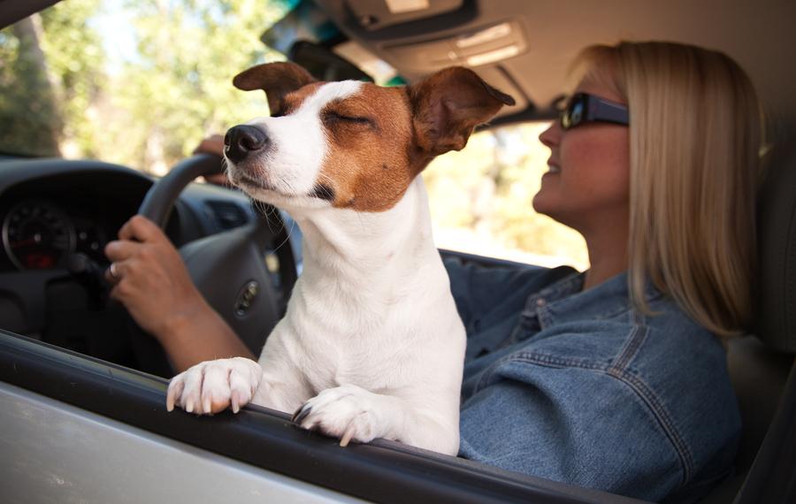Jack Russell Terrier Dog Enjoying a Car Ride.